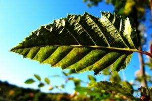 листок