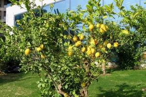 лимони в центрі міста