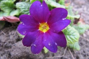 квітка-веснянка