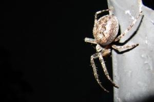 павучок