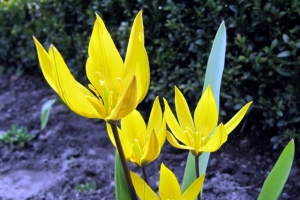 декоративний тюльпан