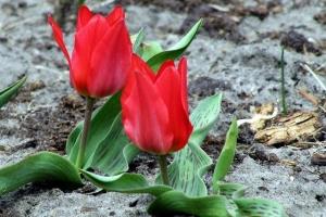 декоративні тюльпани