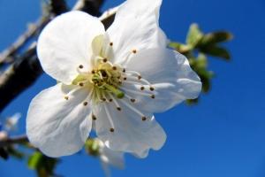 цвіт черешні