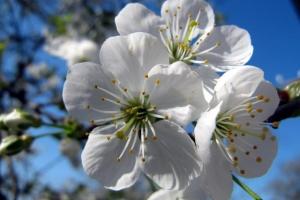 вишневий цвіт