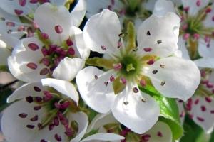 цвіт груші