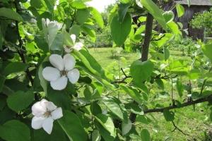 цвіт айви