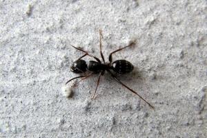 мураха