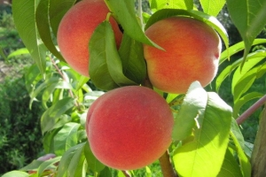 друзі-персики