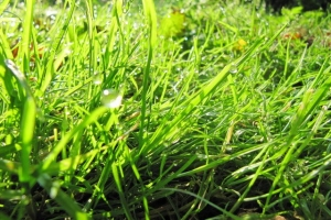 зелені роси
