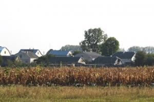 знову багато кукурудзи