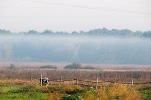 корова в тумані