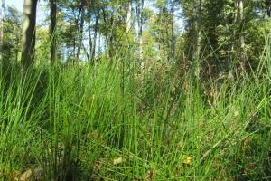 лісові трави