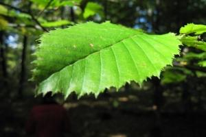грабовий листок