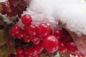 калина в снігу