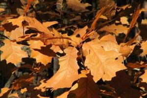 дубове листя