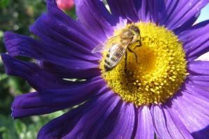 Бджола на айстрі